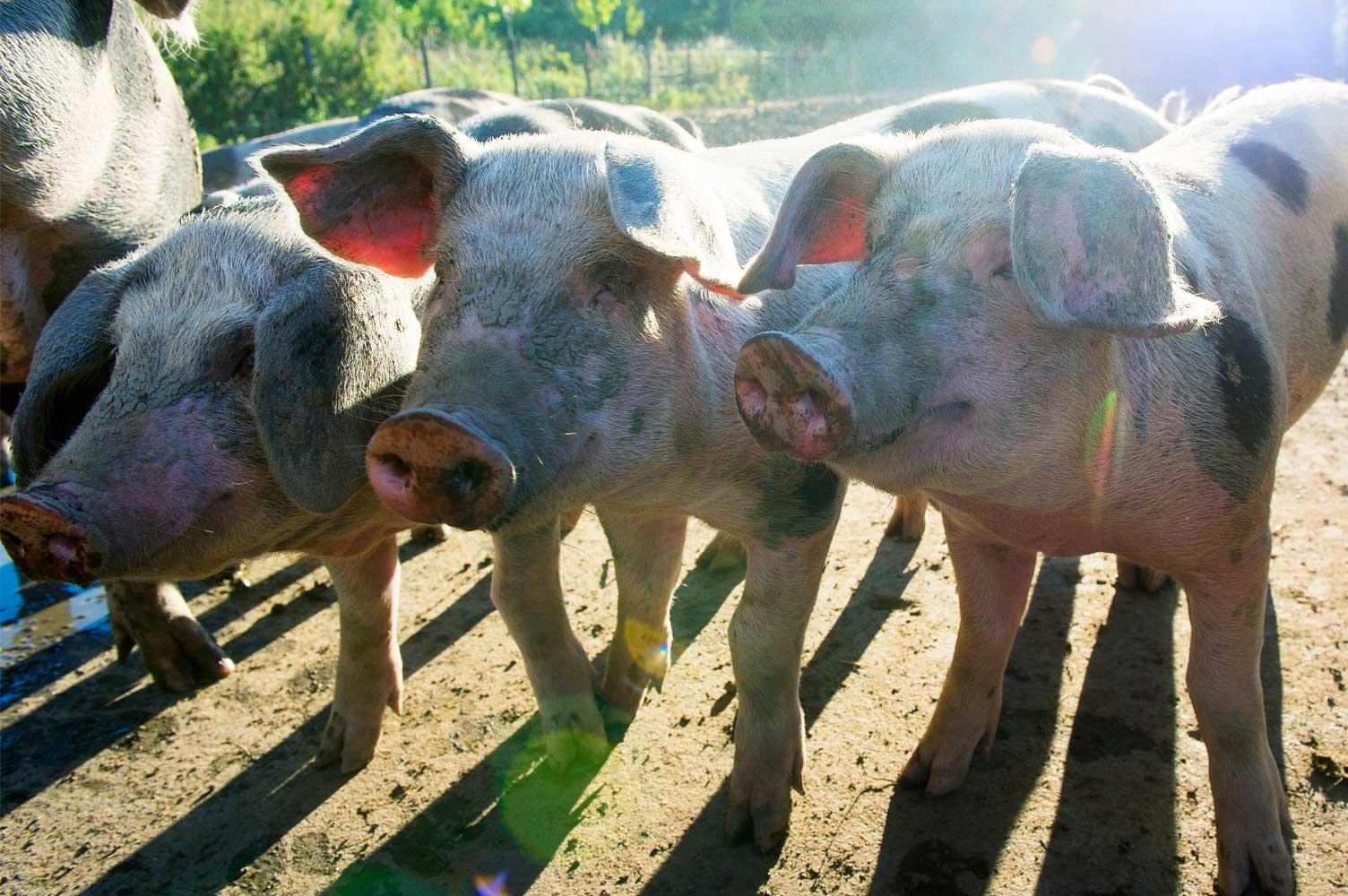 varkens vlees boerderij ruimzicht